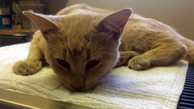 sintomi avvelenamento gatto