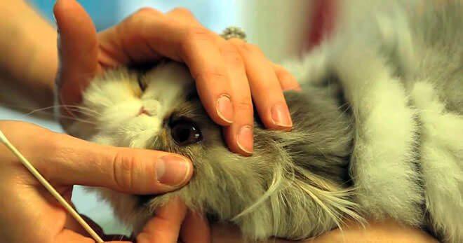 sintomi congiuntivite gatto