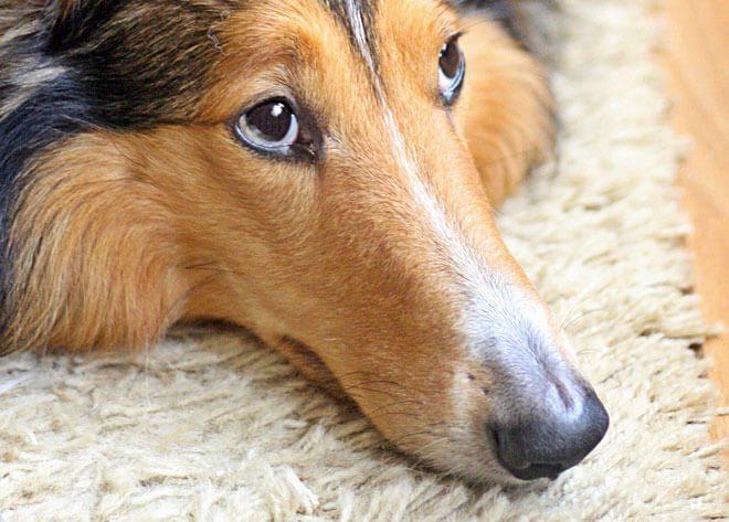 sintomi gastroenterite cane