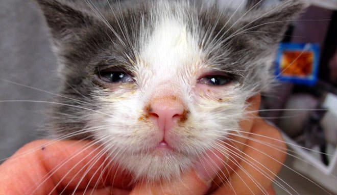 sintomi rinotracheite gatto