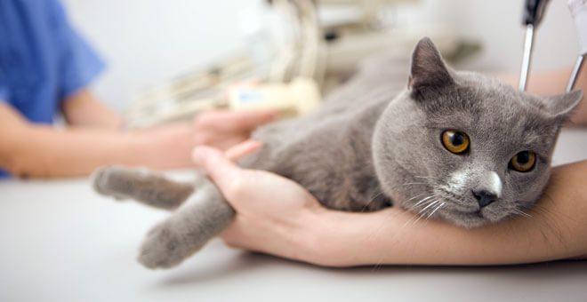 sterilizzazione gatto femmina