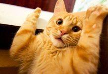 sterilizzazione del gatto maschio