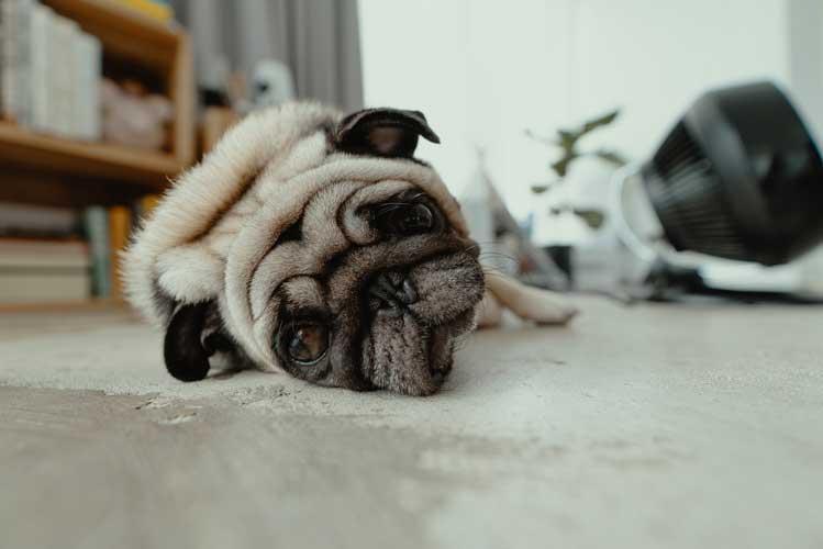 temperatura corporea cane