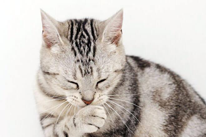 tosse nel gatto