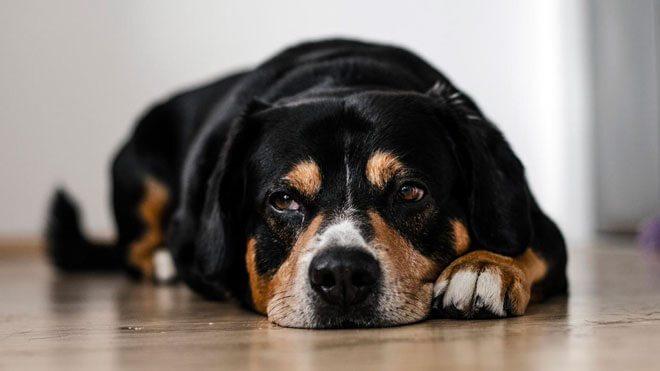vermi cane sintomi