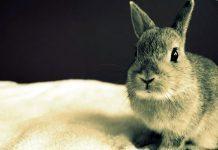 come vedono i conigli