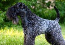 Kerry blue terrier allevamento