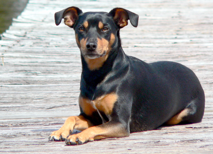 Manchester terrier carattere