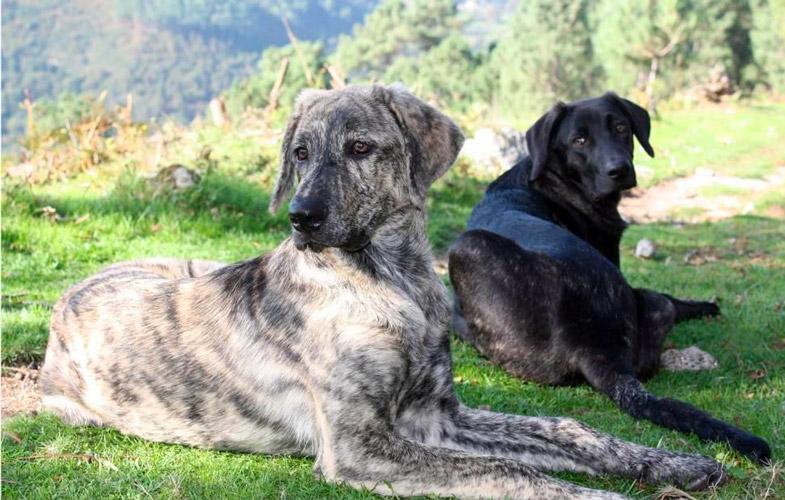 cane di castro laboreiro