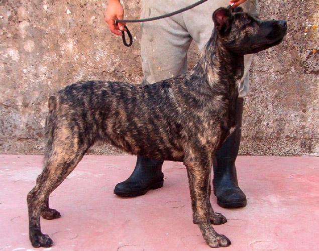 cane portoghese