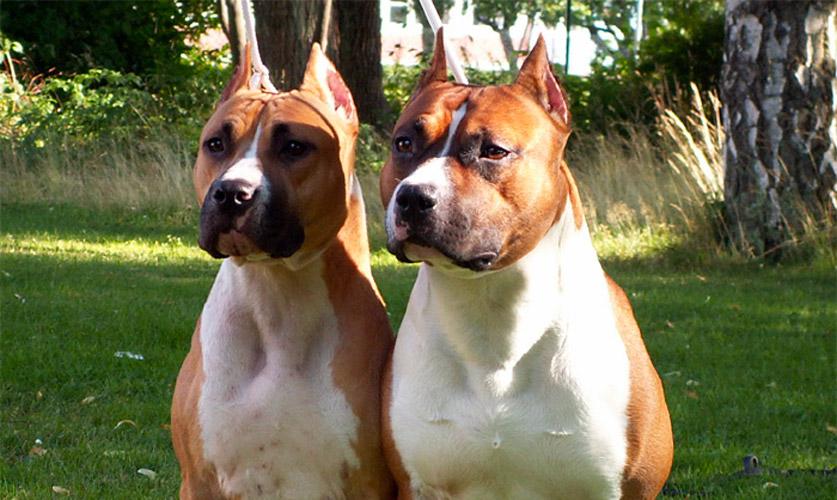 American Staffordshire terrier allevamento