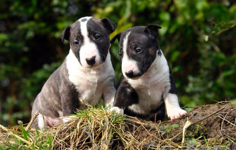 Bull Terrier Miniature cuccioli
