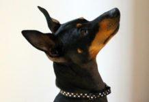 English toy terrier black and tan prezzo