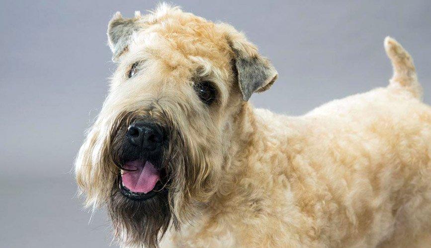 Irish Soft Coated Wheaten Terrier allevamento