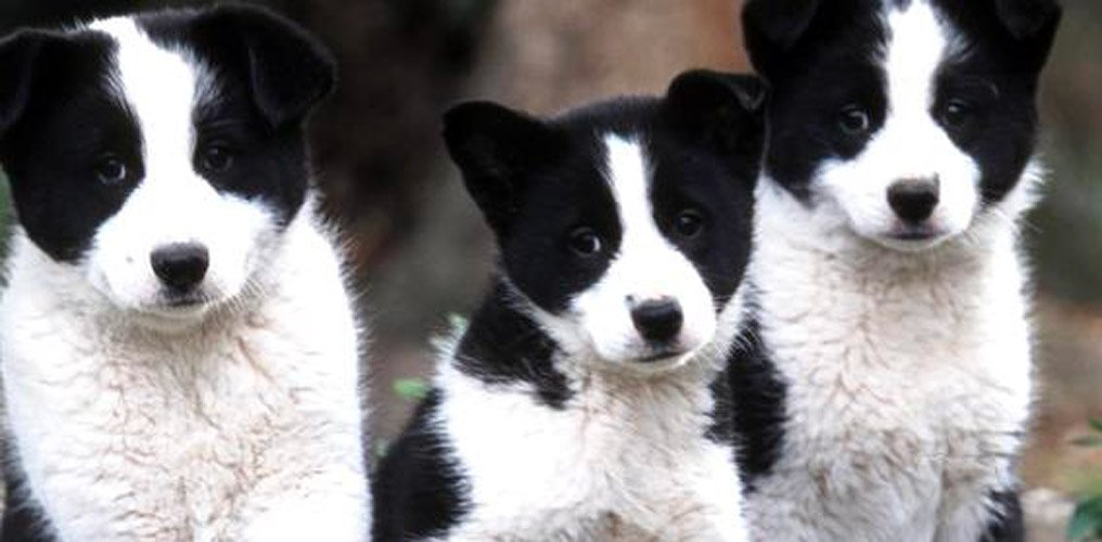 Lapinporokoira cuccioli