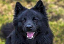 Lapphund svedese