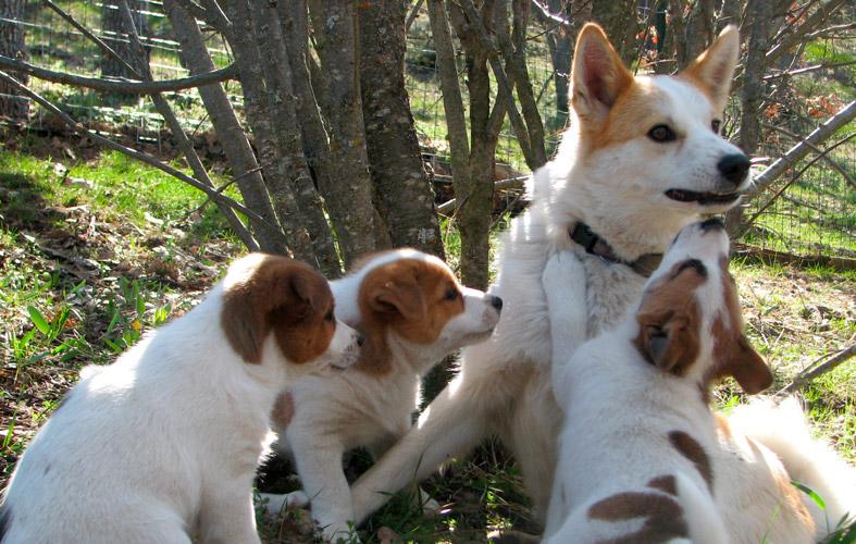 Norrbottenspets cuccioli