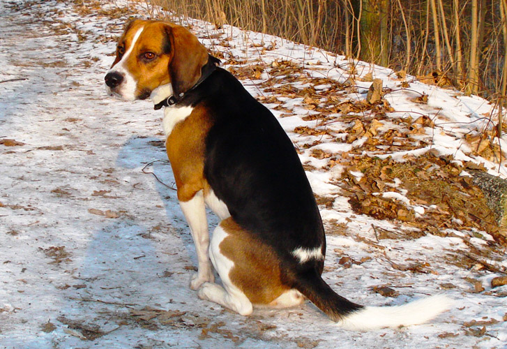 Beagle Harrier allevamento