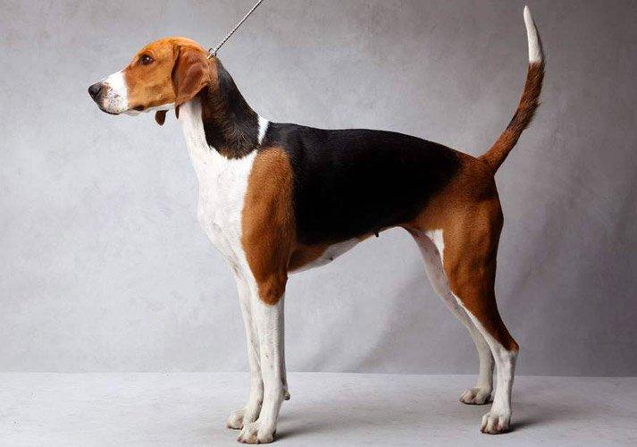 Foxhound Americano carattere