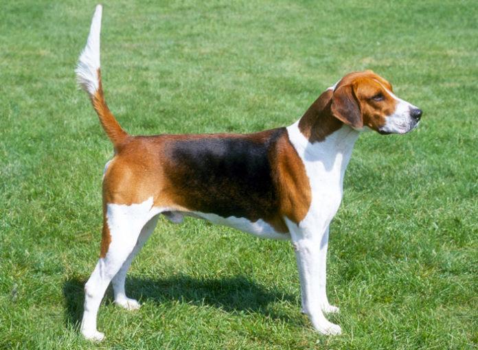 Foxhound Inglese