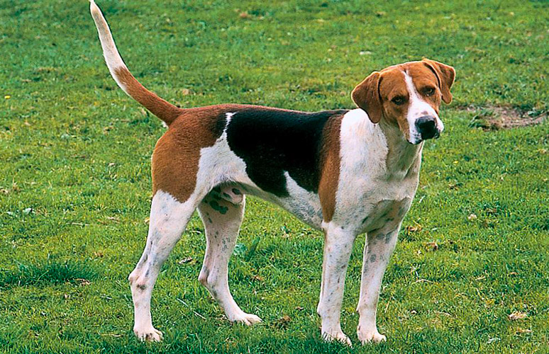 Foxhound Inglese carattere