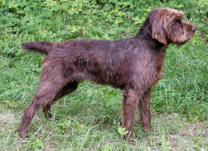 Pudelpointer carattere