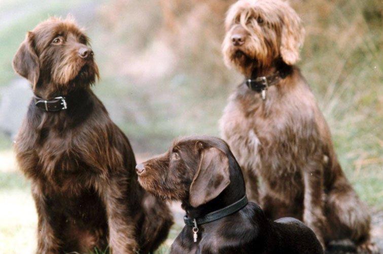 Pudelpointer cuccioli