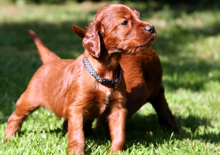 Setter irlandese rosso cuccioli