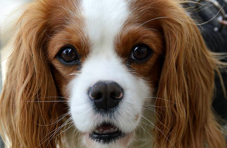 King Charles Spaniel carattere