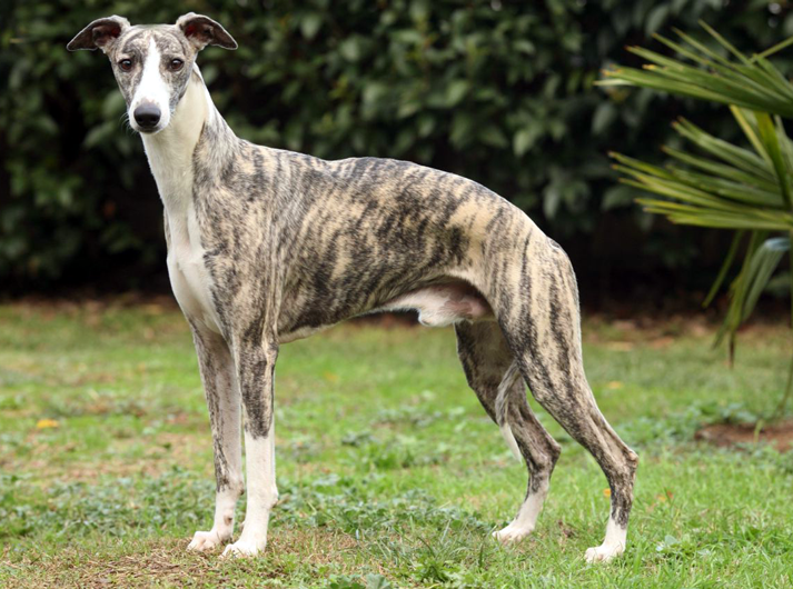 Whippet carattere