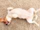 cane con la pancia gonfia e dura