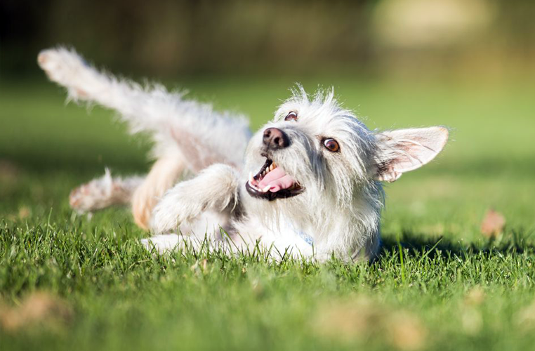 sintomi lussazione rotula cane