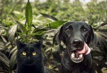cannabis per cani e gatti