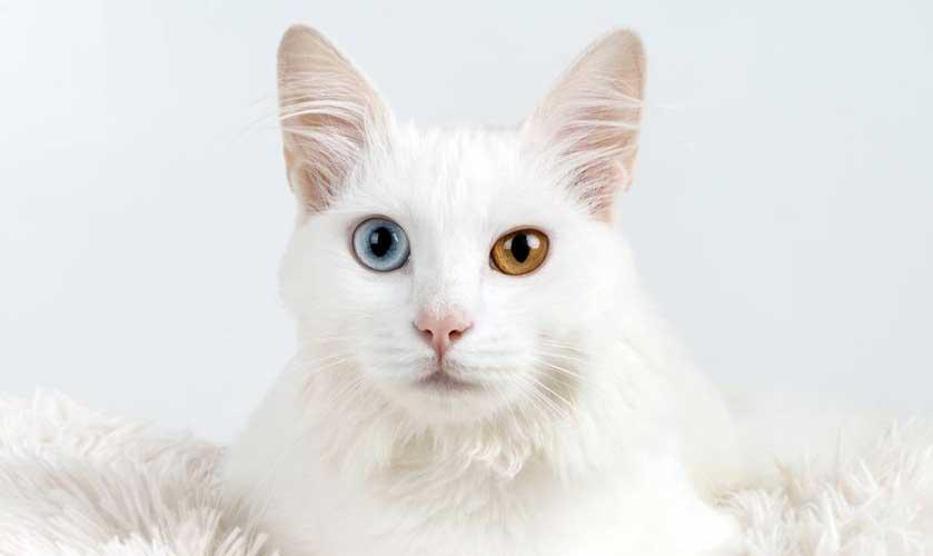 eterocromia gatto