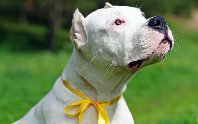 fiocco giallo guinzaglio cani significato