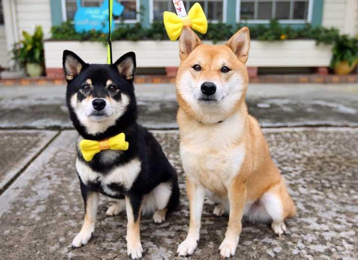 fiocco giallo per cani