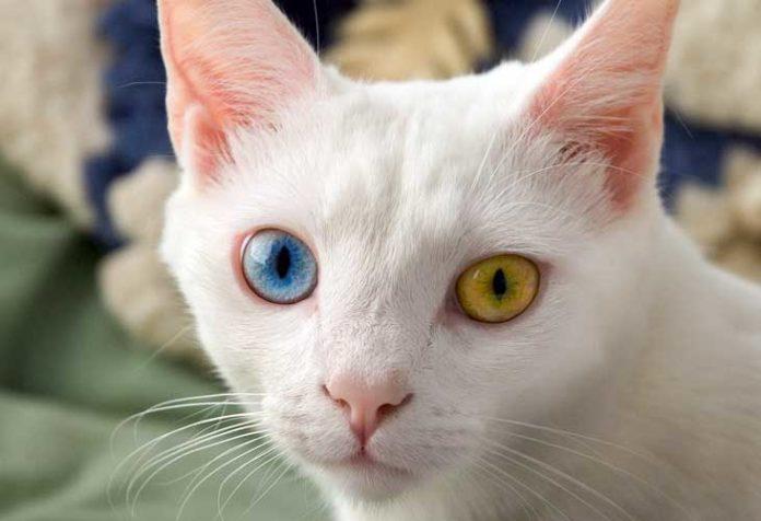 gatti occhi colore diverso