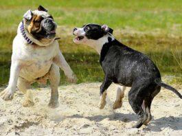 alcol test proprietari cani combattimento