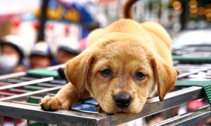 hanoi stop carne di cane