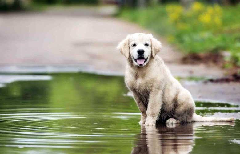 leptospirosi cane