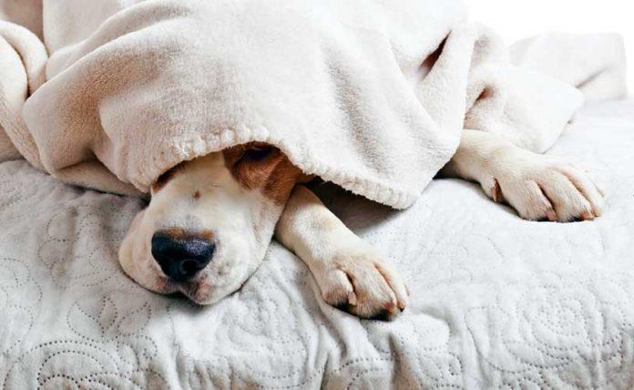 perchè i cani salgono sul letto