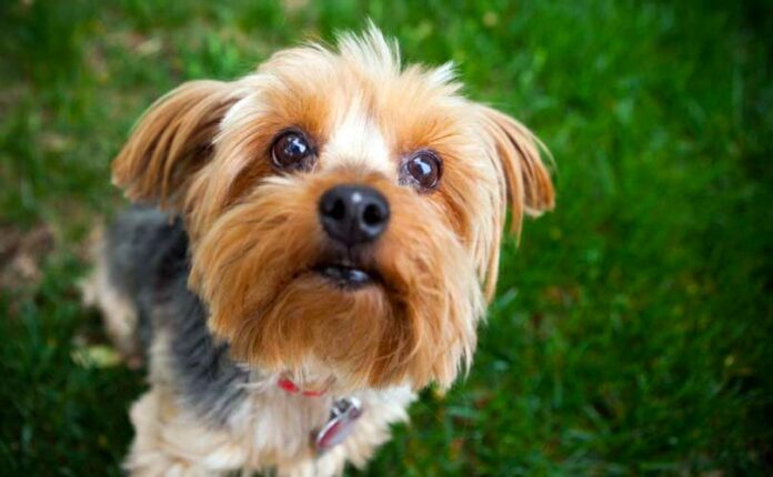 yorkshire terrier rubati