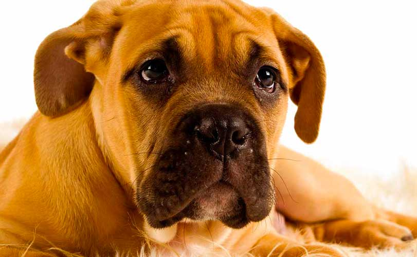 bullmastiff cane da guardia
