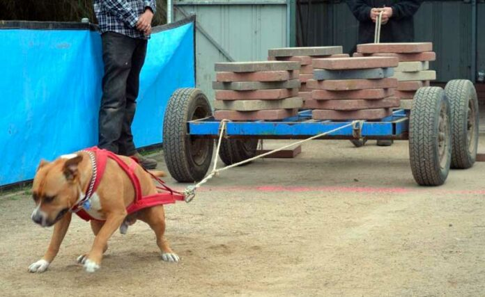 Weight Pulling cani sfruttamento