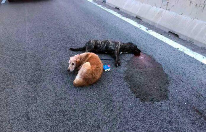 incidente cagnolina