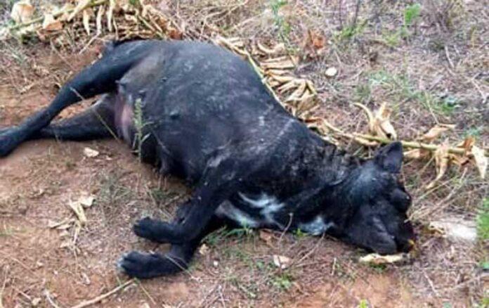 romeo giulietta cane avvelenato