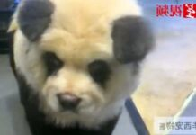 panda caffè cani