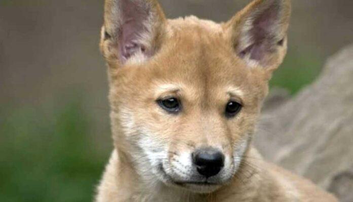 cucciolo dingo puro