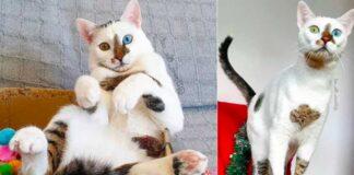 bowie gatto occhi colore diverso