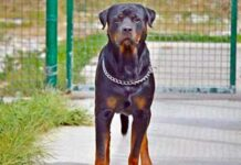 Rottweiler uccide bambino